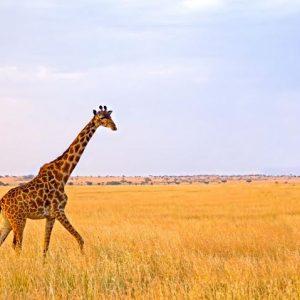Manyara Serengeti & Ngorongoro